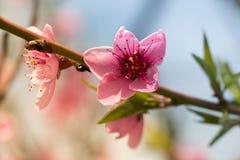 Aprikosfilial i blom Arkivfoto