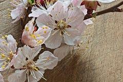 Aprikosfilial med blommor på en träbakgrund Royaltyfri Foto