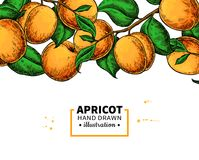 Aprikosfilialgräns Hand dragen isolerad frukt Sommarmatillustration Fotografering för Bildbyråer
