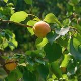 Aprikosfrukt som badas i varmt solljus Selektivt fokusera Arkivbilder