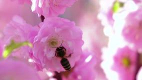 Aprikosfruktträdgård Aprikons blommar att blomma i vår close upp långsam rörelse lager videofilmer