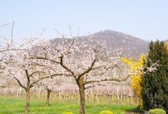Aprikosfruktträdgård i blom framme av wineyarden Royaltyfri Bild