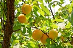 Aprikosfruktträdgård i Eastern Europe royaltyfri foto