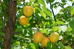 Aprikosfruktträdgård i Eastern Europe arkivfoto