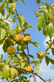 Aprikosfruktträdgård i Eastern Europe royaltyfria bilder