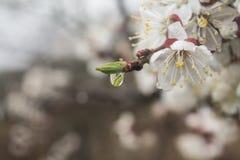 Aprikosrevor Fotografering för Bildbyråer