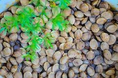 Aprikosskalspridning på jordningen Arkivbild