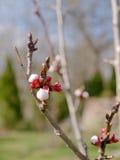 Aprikosträd Royaltyfri Foto