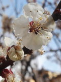Aprikosträd i blom Royaltyfri Bild