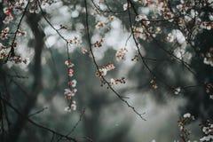 Aprikosträd i blomning royaltyfri bild