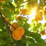 Aprikosträd med frukter Royaltyfri Foto