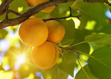 Aprikosträd med frukter Royaltyfri Bild