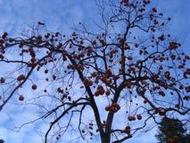 Aprikosträd utan sidor men med frukter royaltyfri bild