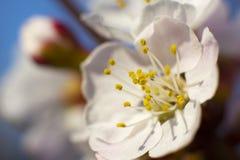Aprikosträdet blommar med den mjuka fokusen Vita blommor för vår på en trädfilial Aprikosträd i blom Vår vita blommor av apric Royaltyfri Fotografi