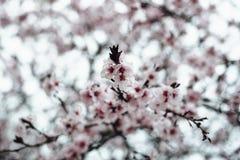 Aprikosträdfilialer i blomning Royaltyfri Foto