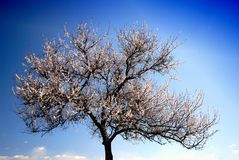 aprikostree Royaltyfri Foto
