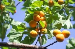 Aprikostreefilial Royaltyfri Bild