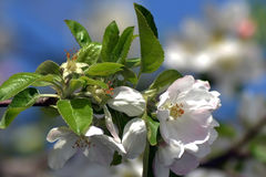 April, apple flowers 3. Spring into April with load of millions of flowers Royalty Free Stock Images