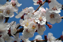 April, apricot flowers 1. Spring into April with load of millions of flowers Royalty Free Stock Image