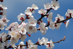 April, apricot flowers 2. Spring into April with load of millions of flowers Royalty Free Stock Image