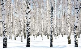 April Birch Grove royalty free stock photo