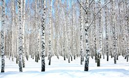 April blue sky in birch grove stock images