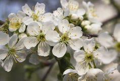 April cherry Stock Photo