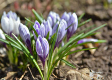 April crocuses in the Moscow region. Stock Photography