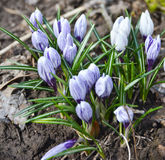 April crocuses. Royalty Free Stock Photo
