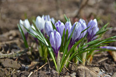 April crocuses. Royalty Free Stock Images