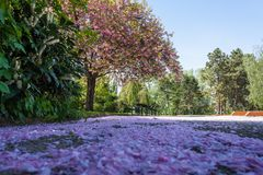 Carpet of purple petals in the Danube Park of Vienna royalty free stock photography