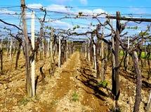 In April, de wijngaarden van het zuidoosten van Bari Royalty-vrije Stock Foto's