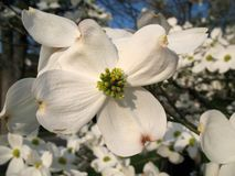 April Dogwood Stock Images