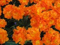April-Farben von Holland 2 stockbilder