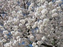 April Fluffy Cherry Blossom Bloom temprana imágenes de archivo libres de regalías