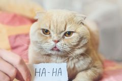 April Fools ' Day concept with funny moody scottish cat and paper sheet with HAHA. 1 April, All Fools ' Day, humor, prank, joke. Concept royalty free stock photo