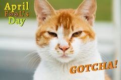 April Fools Day, Gotcha, portrait of white-light brown cat stock images