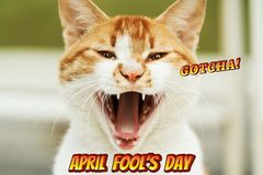 April Fools Day, Gotcha, portrait of white-light brown cat scream royalty free stock images