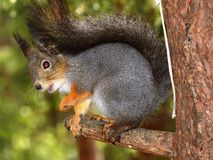 April.forest.squirrel. April;spring;squirrel on a pine tree Royalty Free Stock Photo