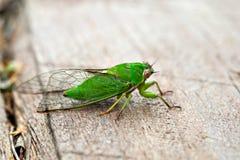 April gör grön cikadan (den Kikihia ochrinaen), nyazeeländsk cikada royaltyfria bilder