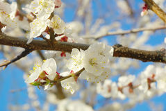 April garden natural tree branch. Spring white blossom. Royalty Free Stock Image