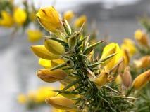 April Gorse Bush Royaltyfria Bilder