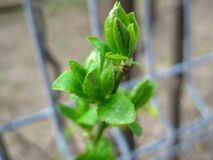 april-green-bud Royalty Free Stock Image