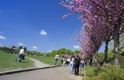 29 april, 2018 Grishko Botanische Tuin, de Oekraïne, Kyiv Steeg met het tot bloei komen Sakura stock afbeelding