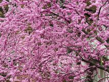 April Purple Flowers im Frühjahr lizenzfreies stockbild