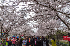 April 2015 - Qingdao, China - Cherry Blossoms festival in Zhongshan Park Royalty Free Stock Image