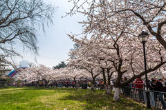 April 2016 - Qingdao, China - Tourists during the cherry blossoms festival Stock Photo