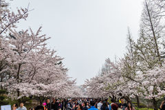 April 2016 - Qingdao, China - Tourists walk in Zhongshan park during the Cherry blossoms festival Stock Photos