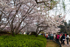 April 2016 - Qingdao, China - Tourists walk in Zhongshan park during the Cherry blossoms festival Royalty Free Stock Photos