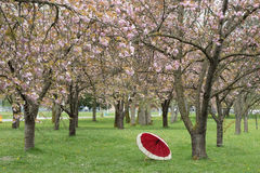 April Rains. Conceptional - April Rains  Cherry trees Stock Photo